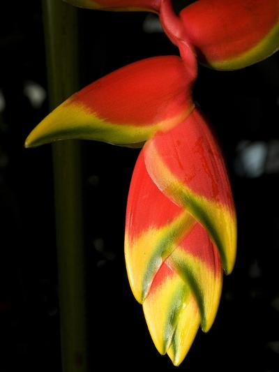 Lobster Claw or False-Bird-Of-Paradise, Heliconia Rostrata, Flower-Joe Petersburger-Photographic Print