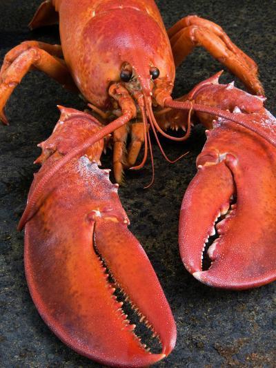 Lobster (Homarus Americanus)-Nico Tondini-Photographic Print