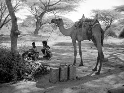 Local Men of Somaliland with Their Camels, 1935--Photographic Print