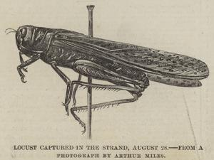 Locust Captured in the Strand, 28 August