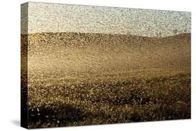 Locust Plague (Locusta Migratoria Capito) Threatens Crops in South Madagascar, June 2010-Inaki Relanzon-Stretched Canvas Print