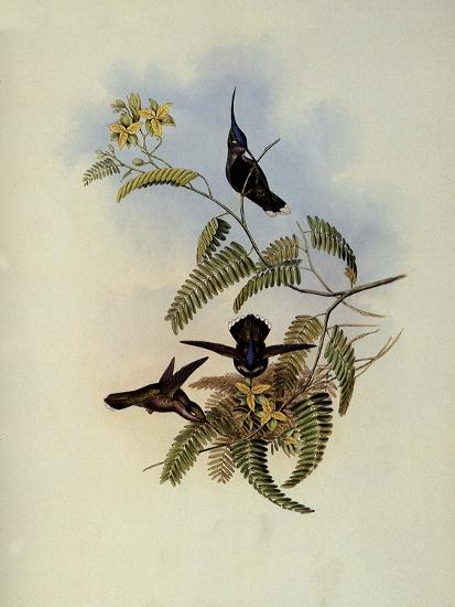 Loddiges' Plover-Crest, Cephalepis Loddigesi-John Gould-Giclee Print