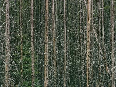 Lodgepole Pine Tree Trunks-David Boyer-Photographic Print