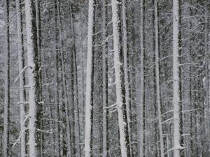 Lodgepole Pine Trees in the Snow
