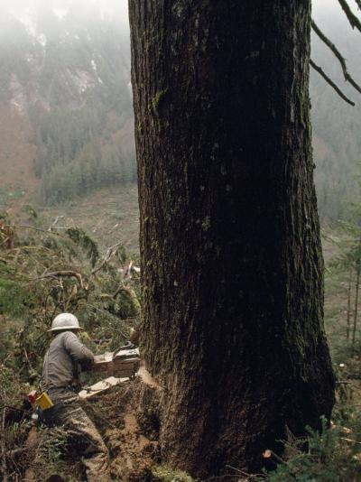 Logger with a Chainsaw Takes Down a Massive Old Tree-Chris Johns-Photographic Print