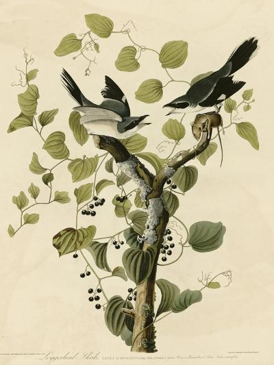 Loggerhead Shrike--Giclee Print