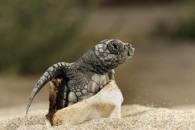 Loggerhead Turtle (Caretta Caretta) Hatching, Dalyan Delta, Turkey, July 2009-Zankl-Photographic Print