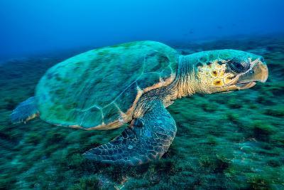 Loggerhead Turtle, (Caretta Caretta), Indian Ocean-Peter Pinnock-Photographic Print