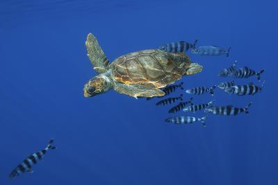 Loggerhead Turtle (Caretta Caretta) with a Shoal of Pilot Fish, Pico, Azores, Portugal, June-Lundgren-Photographic Print