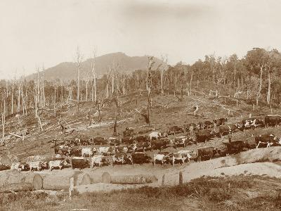 Logging with Bullock Teams at Whakapara--Photographic Print