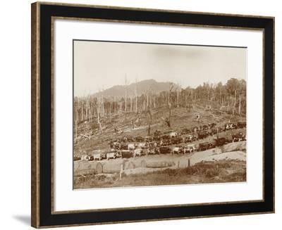 Logging with Bullock Teams at Whakapara--Framed Photographic Print