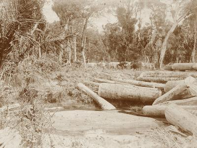 Logging with Bullock Teams--Photographic Print