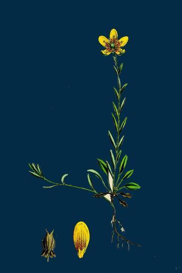 Lolium Italicum; Italian Rye-Grass--Giclee Print