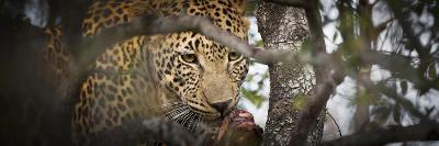 Londolozi Game Reserve, South Africa. Leopard Eating in a Tree-Janet Muir-Photographic Print