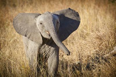 Londolozi Game Reserve, South Africa. Young Bush Elephant-Janet Muir-Photographic Print