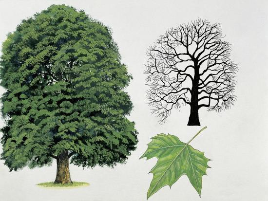 London Plane Trees and its Leaf (Platanus Hispanica)--Giclee Print