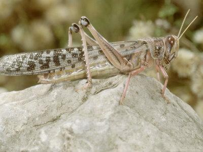Desert Locust, Female