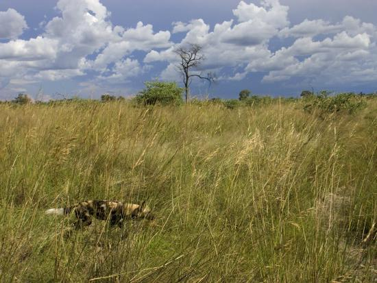 Lone African Wild Hunting Dog Walking in Tall Grass-Roy Toft-Photographic Print