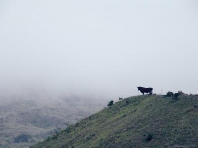 Lone Bull on Hill in Fog-Steve Winter-Photographic Print