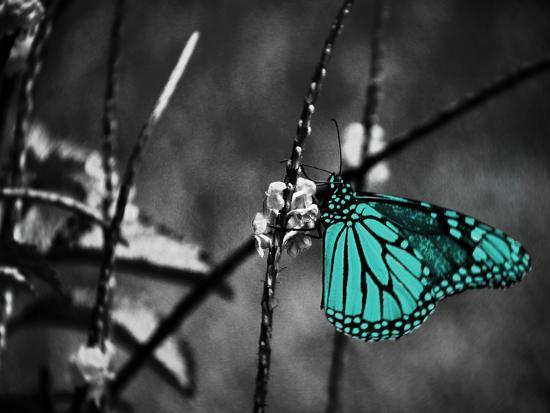 Lone Colored Butterfly II-Gail Peck-Photographic Print
