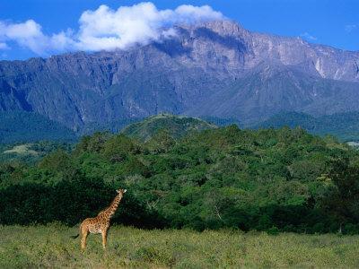 Lone Giraffe (Giraffa Camelopardalis) in Front of Mt. Meru