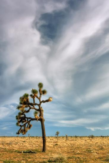 Lone Joshua Tree Landscape-Vincent James-Photographic Print