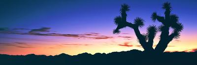 Lone Joshua Tree (Yucca Brevifolia) at Sunrise, Rainbow Basin Natural Area, Near Barstow--Photographic Print