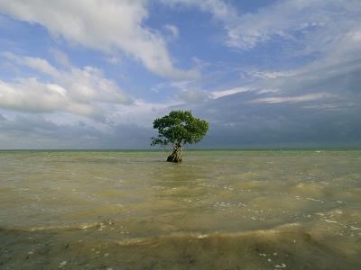 Lone Mangrove Tree Standing in the Surf-Skip Brown-Photographic Print