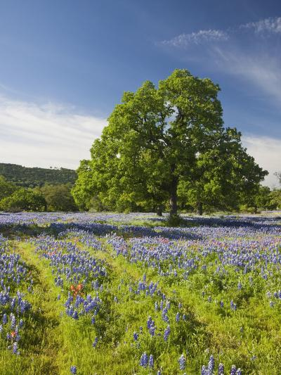 Lone Oak Standing in Field of Wildflowers with Tracks Leading by Tree, Texas Hill Country, Usa-Julie Eggers-Photographic Print