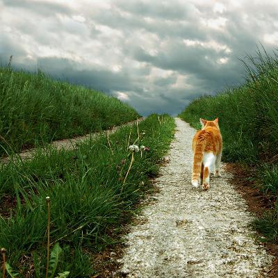 Lone Red and White Cat Walking along Grassy Path-Axel Lauerer-Photographic Print
