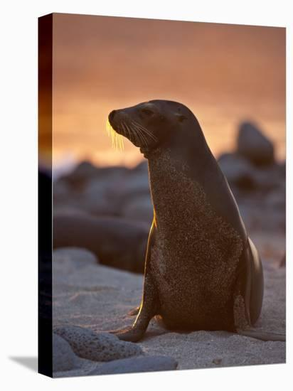 Lone Sea Lion at Sunset in the Galapagos Islands-Michael Melford-Stretched Canvas Print