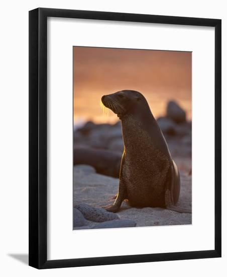 Lone Sea Lion at Sunset in the Galapagos Islands-Michael Melford-Framed Photographic Print