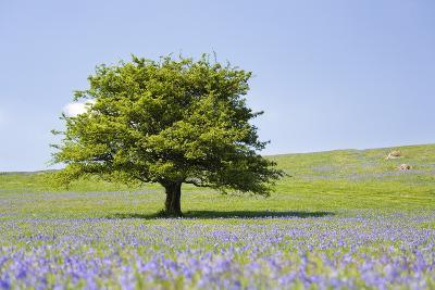 Lone Tree and Mauve Spring Wildflowers at Holwell Lawn, Dartmoor, Devon England-David Clapp-Photographic Print