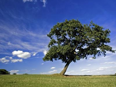 Lone tree at a meadow below a sunny blue sky-Phil Norton-Photographic Print