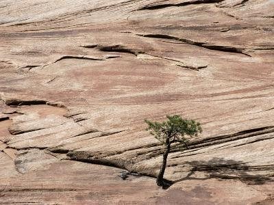 Lone Tree Growing in Rock Formation--Photographic Print