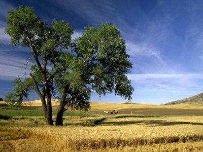 https://imgc.artprintimages.com/img/print/lone-tree-in-harvest-time-field-palouse-washington-usa_u-l-p49zin0.jpg?p=0