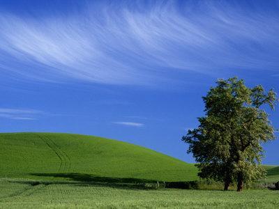 https://imgc.artprintimages.com/img/print/lone-tree-in-wheatfield-whitman-county-washington-usa_u-l-p49y1b0.jpg?p=0