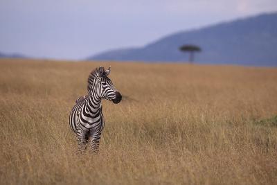 Lone Zebra-DLILLC-Photographic Print