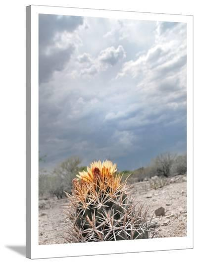 Lonely Cactus Blossom-Murray Bolesta-Stretched Canvas Print