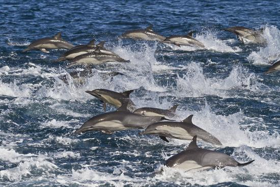 Long-Beaked Common Dolphin (Delphinus Capensis) Pod, Isla San Esteban, Gulf of California, Mexico-Michael Nolan-Photographic Print