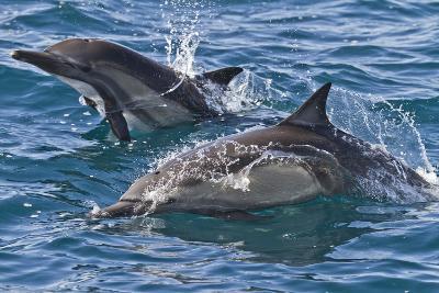 Long-Beaked Common Dolphin, Isla San Esteban, Gulf of California (Sea of Cortez), Mexico-Michael Nolan-Photographic Print