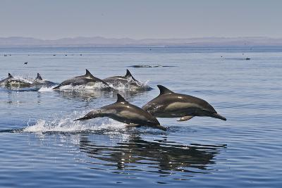 Long-Beaked Common Dolphins, Isla San Esteban, Gulf of California (Sea of Cortez), Mexico-Michael Nolan-Photographic Print