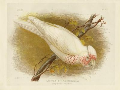 Long-Billed Cockatoo, 1891-Gracius Broinowski-Giclee Print