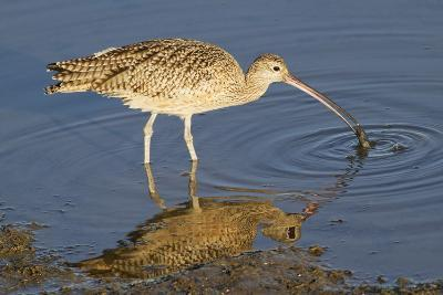 Long-Billed Curlew Catchs a Clam-Hal Beral-Photographic Print