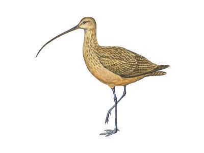 Long-Billed Curlew (Numenius Americanus), Birds-Encyclopaedia Britannica-Art Print