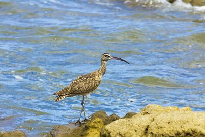 Long-Billed Curlew (Numenius Americanus) on Playa Guiones Beach at Nosara-Rob Francis-Photographic Print