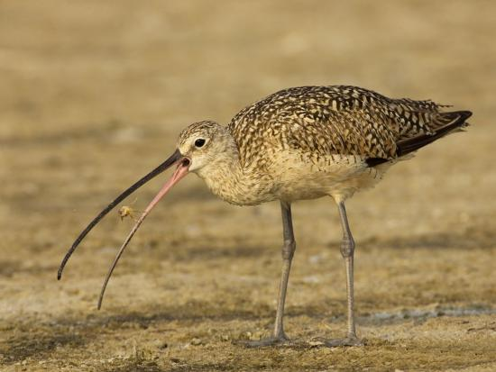 Long-Billed Curlew, Numenius Americanus, with a Crab in its Beak, North America-John Cornell-Photographic Print