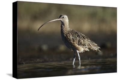 Long-billed Curlew wading, North America-Tim Fitzharris-Stretched Canvas Print