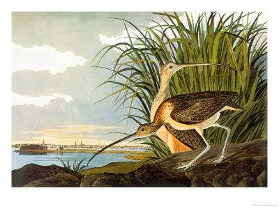 Long-Billed Curlew-John James Audubon-Art Print