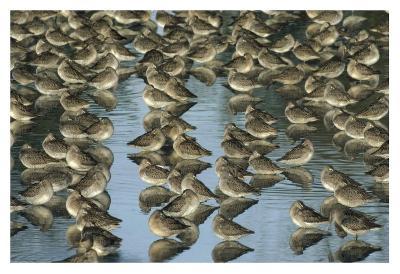 Long-billed Dowitcher flock sleeping in shallow water, North America-Tim Fitzharris-Art Print